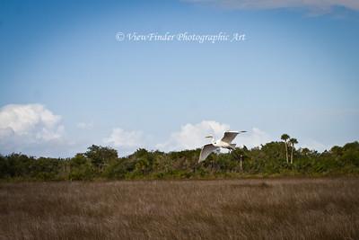 Egret at Merrit Island Wildlife Refuge, Florida