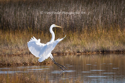 Great White Egret settles into a new spot in this tidal marsh, hoping for some good fishing.  I watched a while, and he picked a great spot!