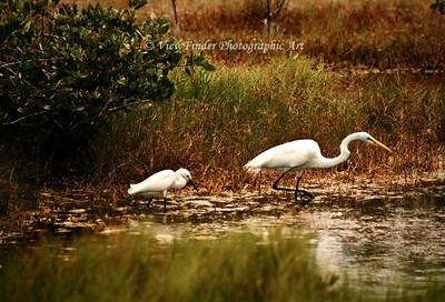 Great White Egrits hunt food together