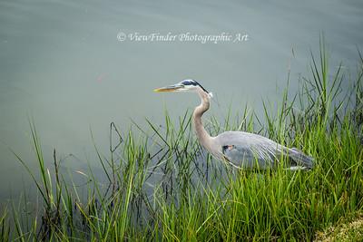 Big Blue Heron