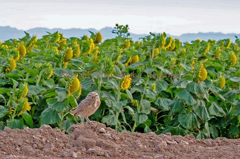 Burrowing Owl and Sunflowers