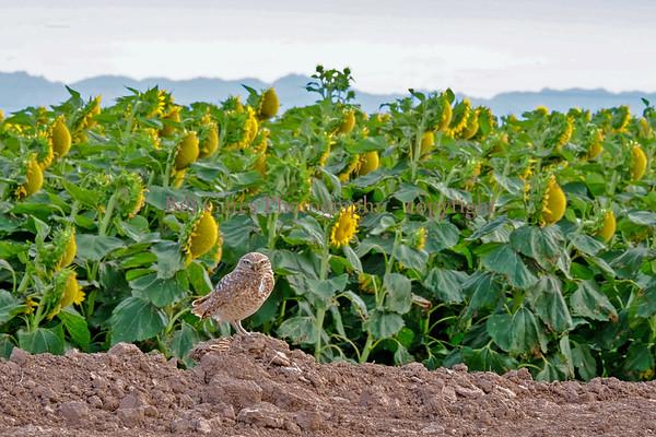 Birds and Wildlife - Burrowing Owls