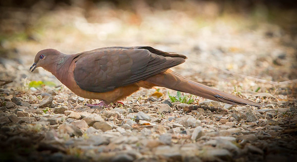 Brown Cuckoo Dove (Macropygia Phasianella)