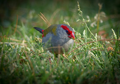 Red-Brown Finch (Firetail) (Neochmia temporalis)
