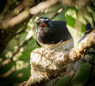 Willie Wagtail (Rhiipidura leucophrys) In Nest