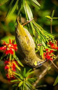 Lewin's Honeyeater (Meliphaga lewinii)
