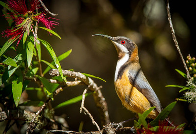 Eastern Spinebill (Acanthorhynchus tenuirostris)