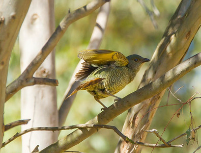 Satin Bowerbird (female) ( Ptilonorhynchus violaceus)