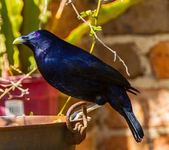 Satin Bowerbird (male) ( Ptilonorhynchus violaceus)
