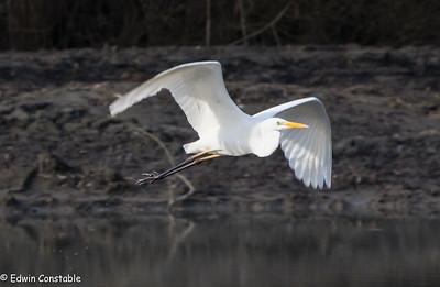 A flighty egret