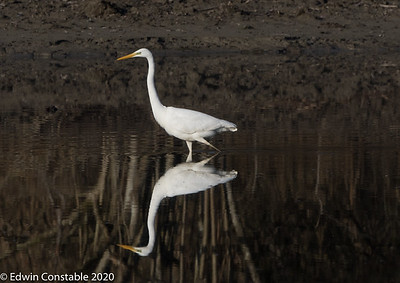 Reflections on an egret