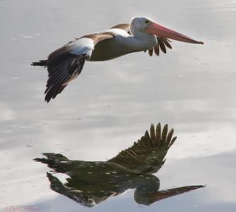 Australian Pelican (Pelecanus conspicillatus) in flight. Myall Lakes, NSW, Australia