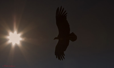 Andean Condor flying into sun.