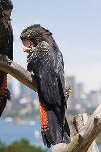 Red Tailed Black Cockatoo (Calyptorhynchus banksii)