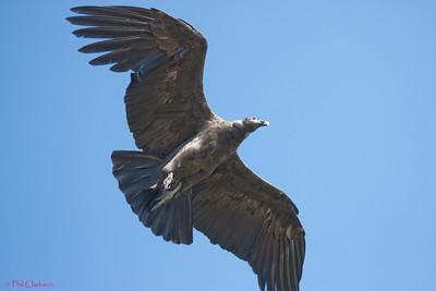 Andean Condor (Vultur gryphus) at Taronga Zoo, Sydney, Australia