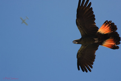 Red Tailed Black Cockatoo (Calyptorhynchus banksii) with plane in background