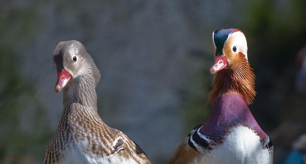 Mandarin Ducks (Aix galericulata). Taronga Zoo, Sydney Australia