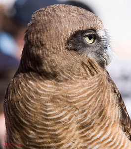 Rufous Owl (Ninos rufa)