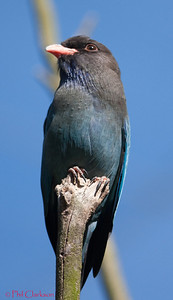 Dollarbird (Eurystomus orientalis) at Taronga Zoo, Sydney, Australia