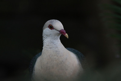White Headed Pigeon (Columba leucomela) at Taronga Zoo, Sydney, Australia