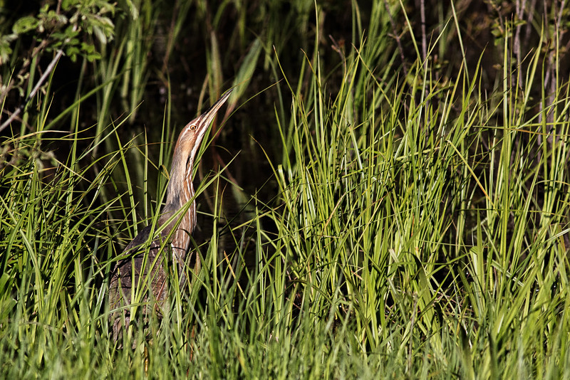 American Bittern Hiding Out