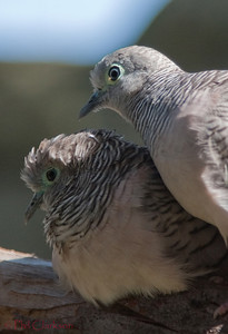 Peaceful Dove (Geopelia placida)