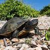 Map Turtle at Kentucky Lake