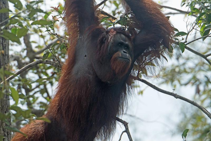 Badly backlit shot, but this orangutan looks serious.
