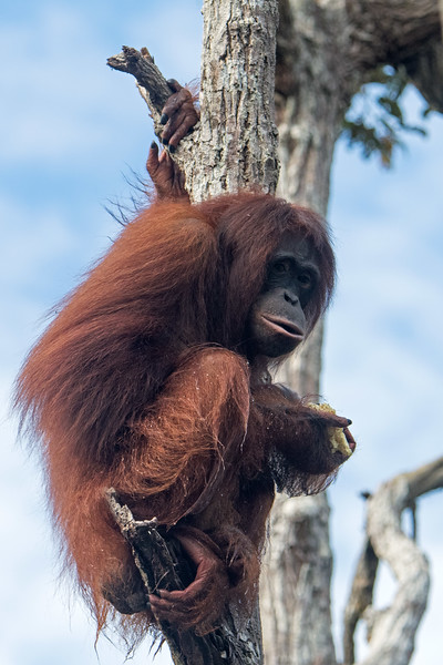 This orangutan has a 4-day old baby clinging to her chest.  The baby's head is barely visible.