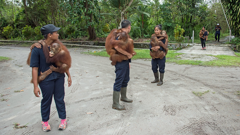 Dr. Galdikas allowed us to take photos of the morning processional of young orangutans being taken to their daycare facility.  Once we entered the actual compound, photos were not permitted.