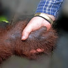 "The perfect way to end this journal is with a handshake (well, actually, foot-to-hand shake) between Siswi and Dr. Galdikas.  The most moving moment of the entire trip for me was during a quiet break when Dr. Galdikas thought she was alone.  She took an orangutan's hand, looked into her eyes, and said ""I hope we deserve your trust."""