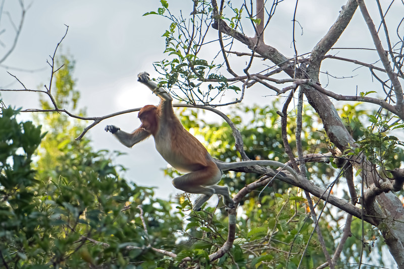 The extensive loss of vegetation has led to a steep decline in the number of Proboscis Monkeys. Today there are only about 1,000 remaining in the wild.  For primates, they have a short lifespan - around 13 years in the wild; 30 years in captivity.  Females can remain with the same family group for their entire lives.