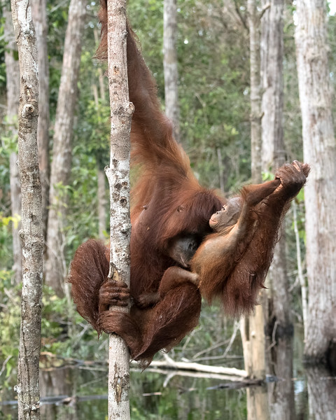 Orangutans are exceptional mothers.  Here, mom is cleaning her baby.