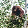 It was late afternoon and this orangutan decided it was time to build the nightly nest.