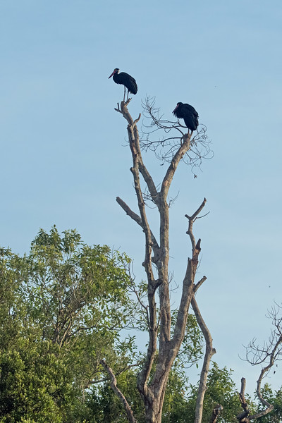Storm's storks (I think).  Added together, I believe we saw less than 10 water birds during the entire trip.