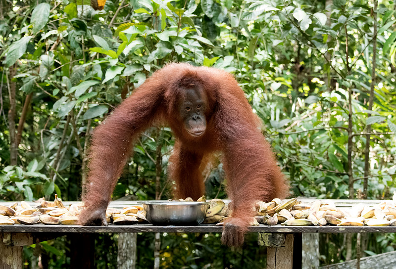 Time for a few orangutan facts:<br /> <br /> Orangutans are unique in the ape world. Of the four kinds of great apes – gorillas, chimpanzees, bonobos and orangutans – only the orangutan comes from Asia; the others all come from Africa. <br /> <br /> There are two separate species of orangutan – the Sumatran orangutan and the Bornean orangutan.<br /> <br /> Lifespan in the wild is up to 60 years.<br /> <br /> Orangutans are critically endangered.