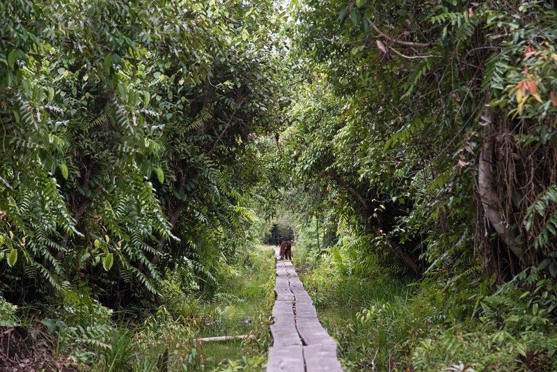 The path to the feeding platform.  Our welcoming orangutan was heading for us.