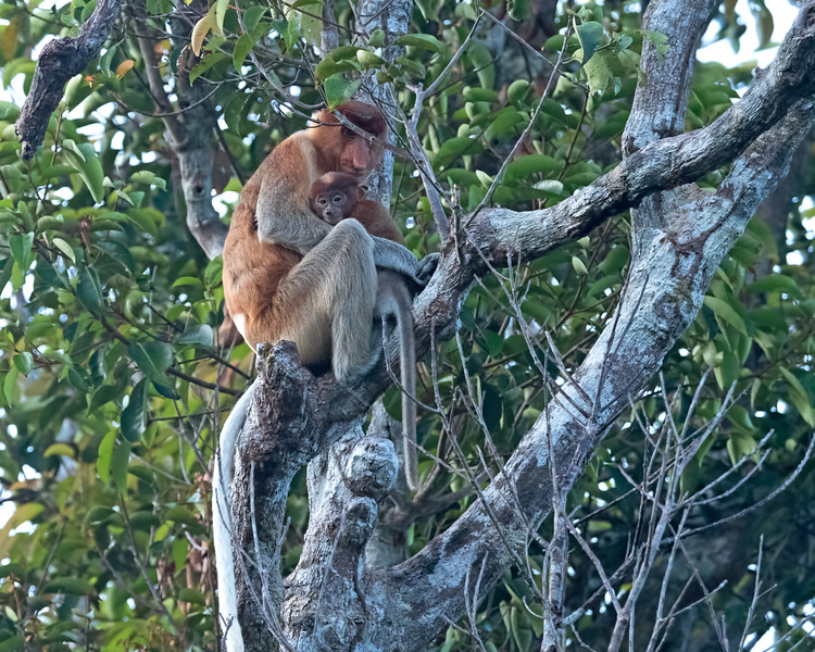 Our first sighting of a male proboscis monkey.