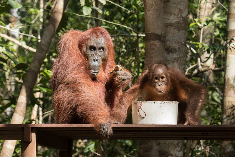This female probably has tons of stories to tell.  She's very old (50-something), and yet she has a baby.  Again, note the resemblance between mom and junior.... there's no escaping genes.  <br /> <br /> Females have menstrual cycles similar to ours, but it wasn't until 2014 that orangutan menopause was confirmed.  The fact that humans live beyond their reproductive usefulness has long been thought to be a biological process  uniquely separating us from the great apes. The discovery of an orangutan going through menopause nullified that theory.<br /> <br /> The childhood of the orangutan is the longest of all apes. A baby will stay with its mother for 7 - 8 years, nursing for up to 6 of those years.  As a child becomes old enough to leave the mother, he or she will start to feed further and further away. Then one day the two will simply part ways, at which point the mother  will again be willing to mate .