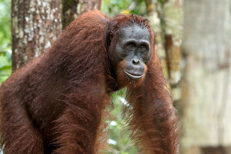 The rain kept most orangutans away, but a few hardy souls showed up.  When wild fruit is plentiful, the platforms will be empty.