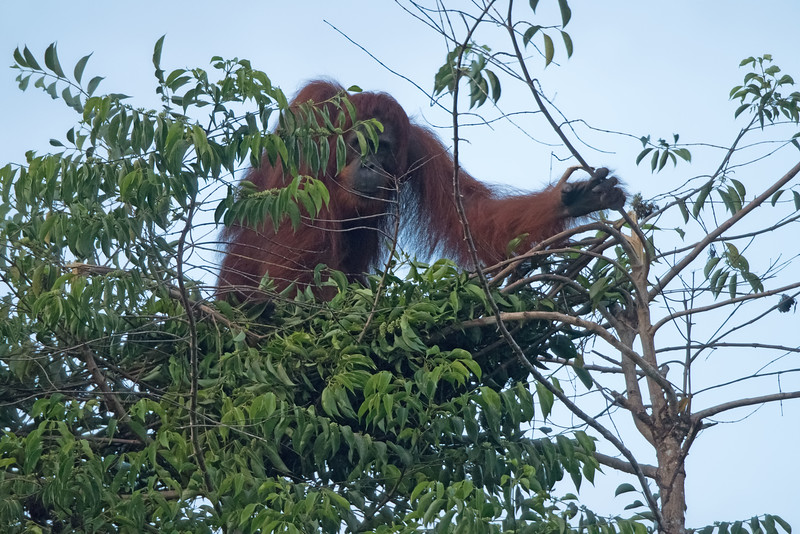 Luck was definitely with us on this trip.  We had very little rain, with hot, but not super-hot temperatures, and many interesting sightings.  This is a rare glimpse of a young male orangutan building a nest.  We encountered him on the way back from our very first outing.  Orangutans are solitary animals.  Each one builds a new nest every evening around sunset.  It was quite dark when this shot was taken, but at least you'll get the idea.  This fella was way high up in a tree breaking off branches and carefully arranging them so the finished product would support his weight.