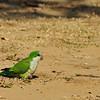Monk Parakeete