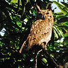 Male Great Horned Owl.  He was keeping watch over his mate who was brooding eggs in a well-hidden nest.