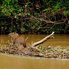 Capybara on a floating raft.