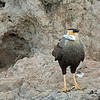 Another crested caracara