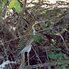 Juvenile Tiger Heron