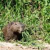 capybara chowing down