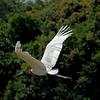 Jabiru in flight.