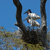"Our first major find was this jabiru stork nest with both parents at home.  There were tiny chicks in the nest, but they were barely visibly.  Jabirus are the tallest flying birds in South America, with males standing as high as 5 ft.  Their wingspan is second only to the Andean condor.  <br /> <br /> Jabirus have moved off the ""near-threatened"" list, but are still not abundant.  Because of their long brooding period, it's unusual for a pair to produce chicks in 2 successive years.  Their average lifespan is 36 yrs."