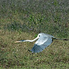 Cocoi heron, very similar to our great blue heron.